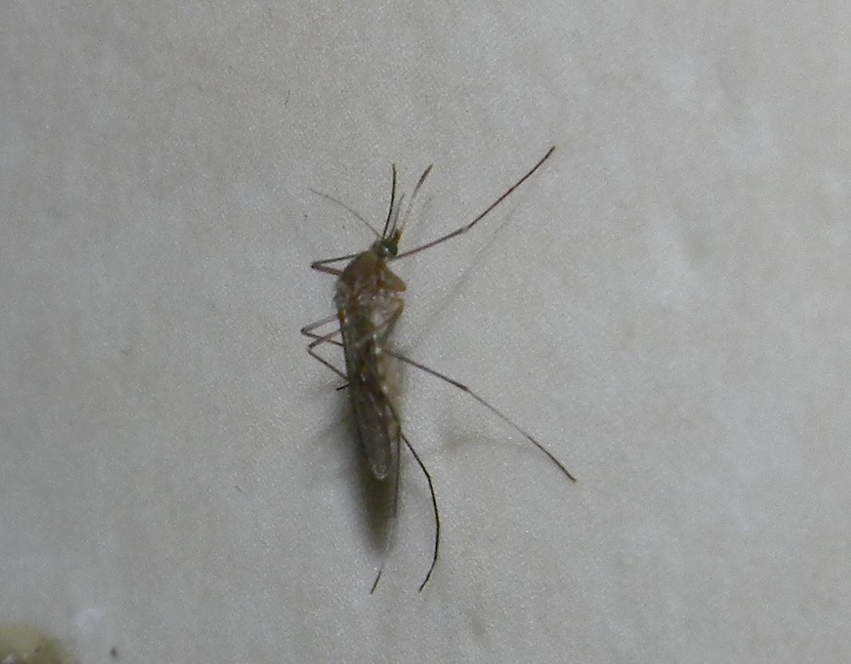 Mygga på väggen