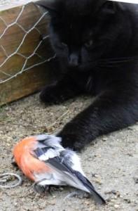Katt med en domherre som byte