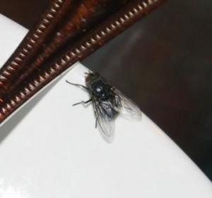 Spyfluga på tallrik
